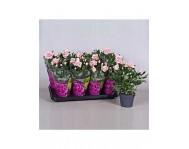 Роза патио Розовая Люкс D12
