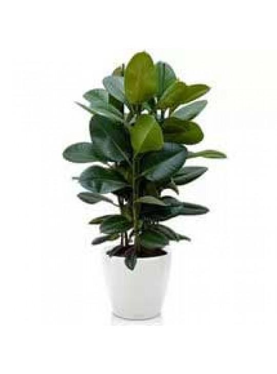 Фикус Робуста Каучуконосный Эластика ( Ficus elastica)