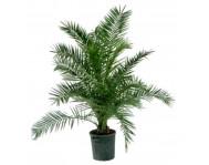 Купить пальму Финик