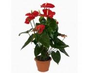 Купить цветок Антуриум