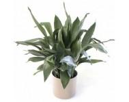 Купить цветок  Аспидистру