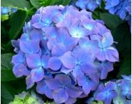 Купить цветок Гортензия