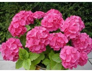 Гортензия Розовая D13