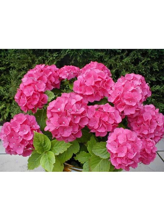 Гортензия Эрли Розовая D15
