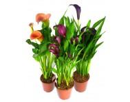 Купить цветок Калла