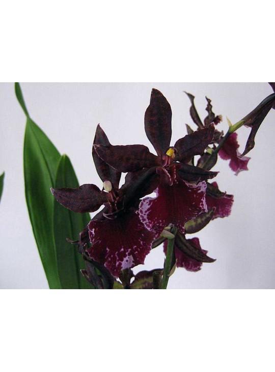 Орхидея Колманара