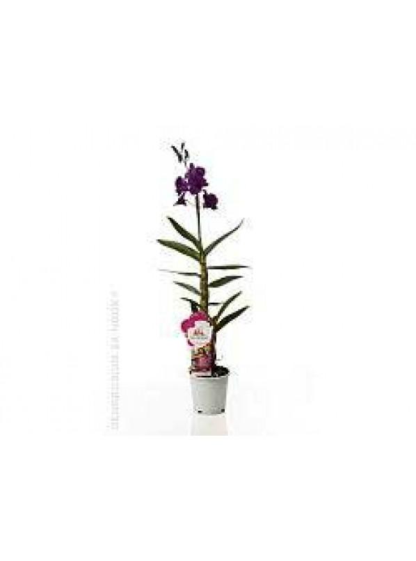 Дендробиум Нобиле Са-нук Таиланд Блэк Dendrobium Nobile Sa-Nook Thailand Black