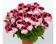 Купить цветок Пеларгония