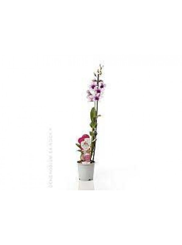 Дендробиум Нобиле Са-нук Полар Файр Dendrobium Nobile Sa-Nook Polar Fire