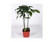 Купить цветок Кастаноспермум