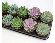 Эхеверия Микс Echeveria Mix