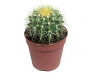 Купить кактус.