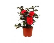 Купить цветок Камелия