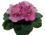 Купить цветок Фиалка Розовая