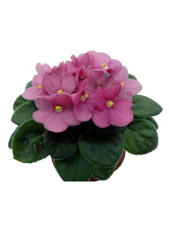 Фиалка розовая - Saintpaulia   высота 20 см