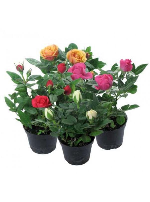 Роза кордана микс d10