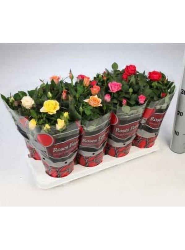 Роза фаворит d12