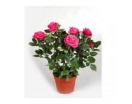 Купить розы в горшке