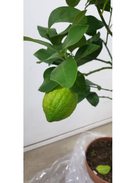 Цитрофортунелла Вулкан Лимон (Citrofortunella Vulcan Lemon)