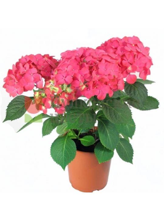 Гортензия 5 соцветий Микс d17