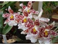 Купить цветок Камбрия
