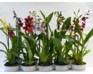 Орхидея Камбрия  1 цветонос D12 H60