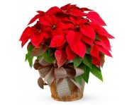 Купить цветок Пуансеттия