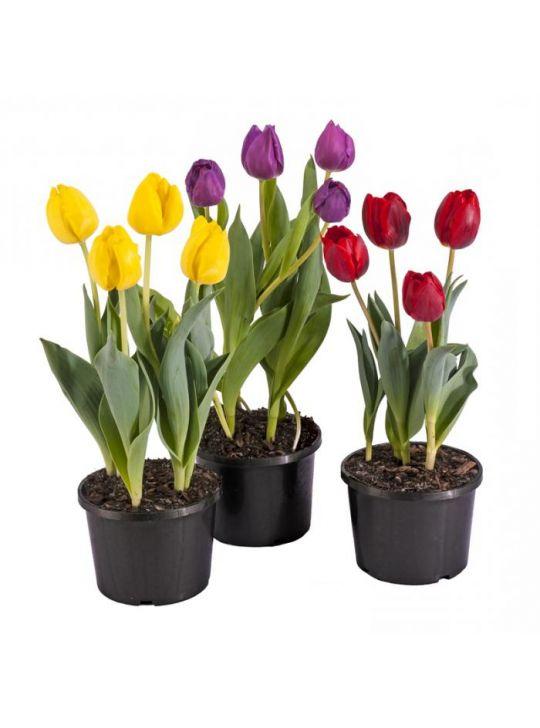 Тюльпаны Микс D12