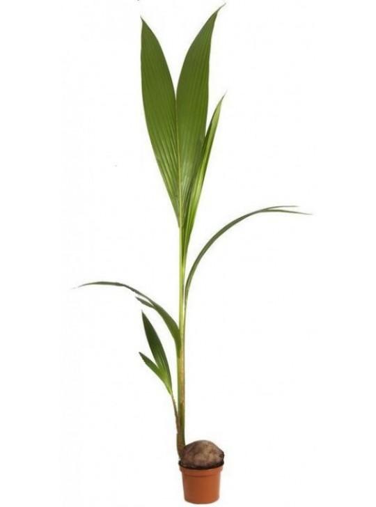 Кокосовая Пальма D19