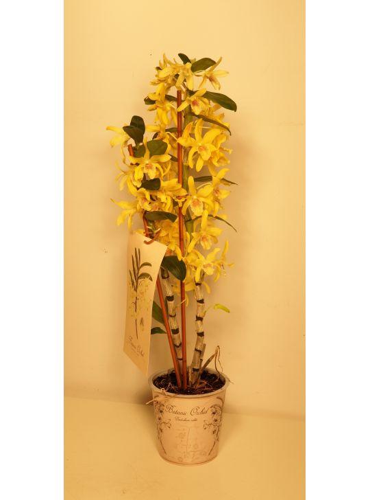 Дендробиум желтый
