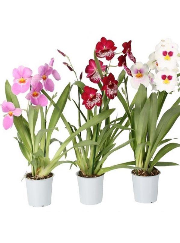 Орхидея Мильтония два цветоноса