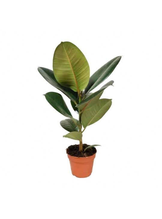 Фикус Робуста Каучуконосный Эластика ( Ficus elastica) D17
