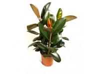 Фикус Робуста Каучуконосный Эластика ( Ficus elastica) 3 ствола D31 H140