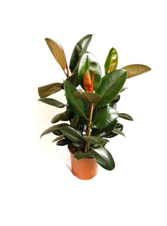 Фикус Робуста Каучуконосный Эластика ( Ficus elastica) 3ствола
