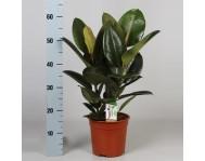 Фикус Робуста Каучуконосный Эластика ( Ficus elastica) D19 H60