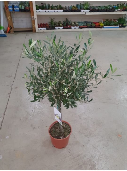 Оливковое Дерево D21