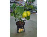 Лимон Цитрофортунелла D12