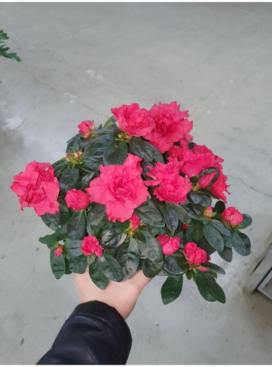 Азалия (Рододендрон) Микс