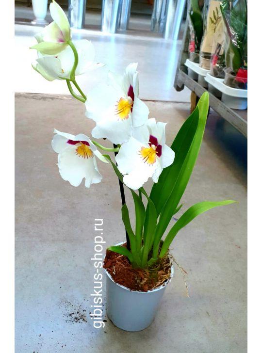 Купить мильтонию, купить орхидею D10