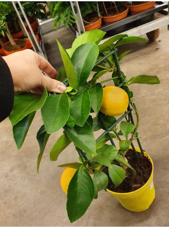 Купить лимон на решетке