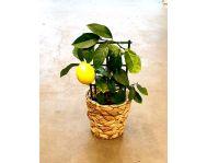 Лимон в кашпо D12