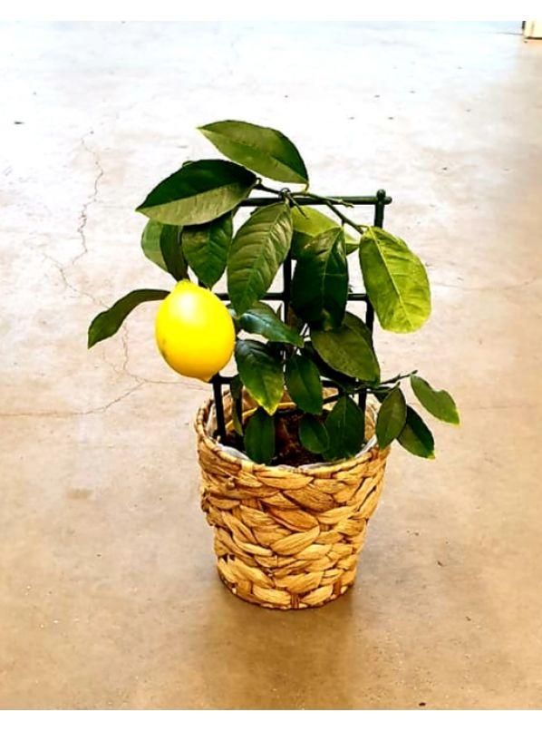 купить Лимон в кашпо