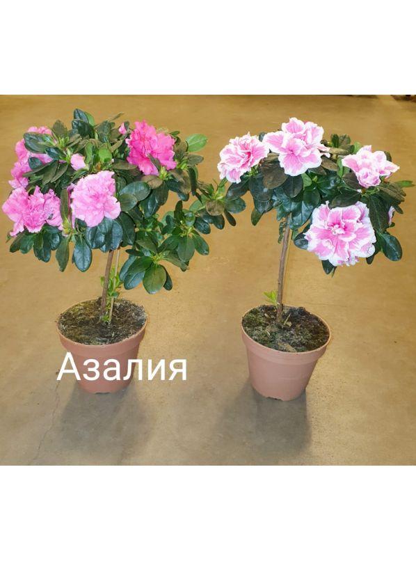 Азалия  (Рододендрон) штамбовая