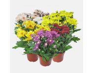 Хризантемы в горшках купить. Купить хризантемы в горшках для дома и офиса из Нидерландов.