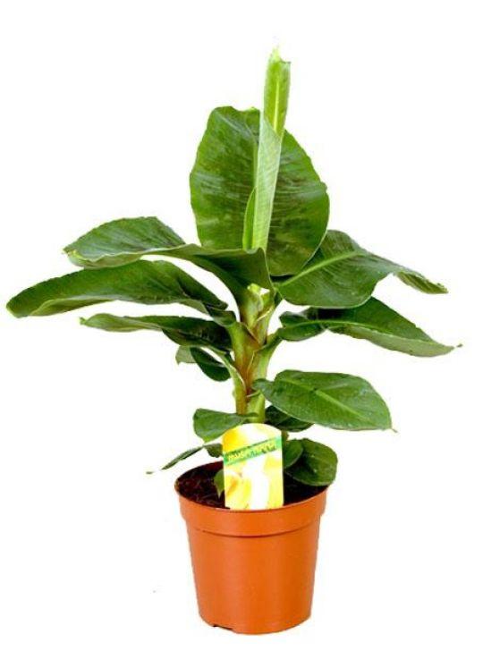 Муса Банановая Пальма D12