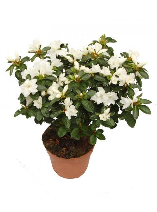 Азалия (Рододендрон)  белая