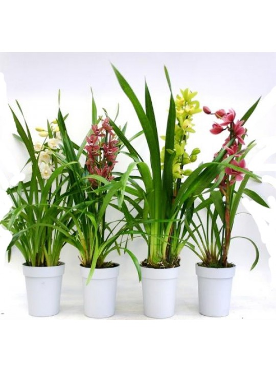 Цимбидиум Микс Cymbidium Mix