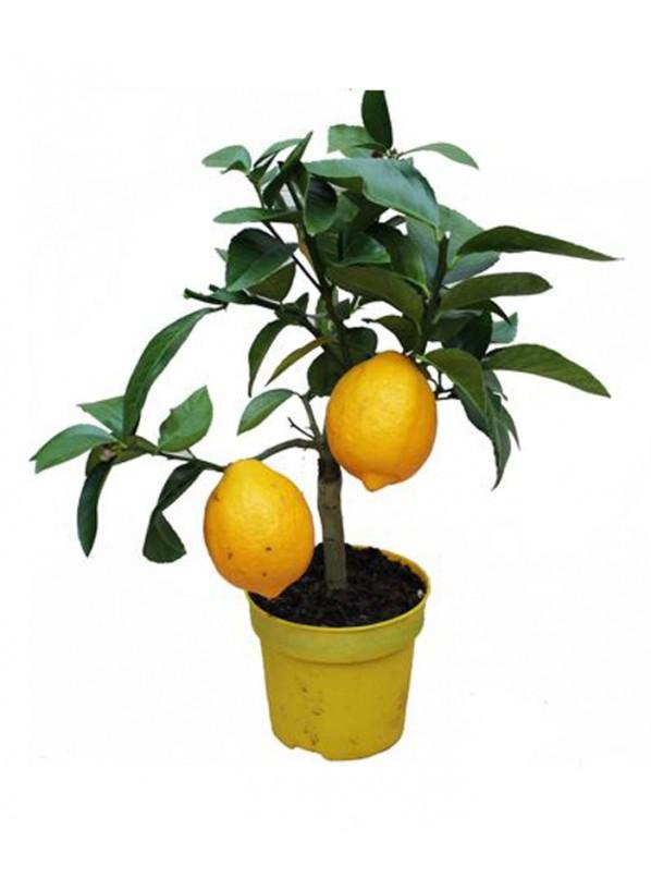 Лимон d12