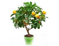Мандариновое дерево - Цитрофортунелла