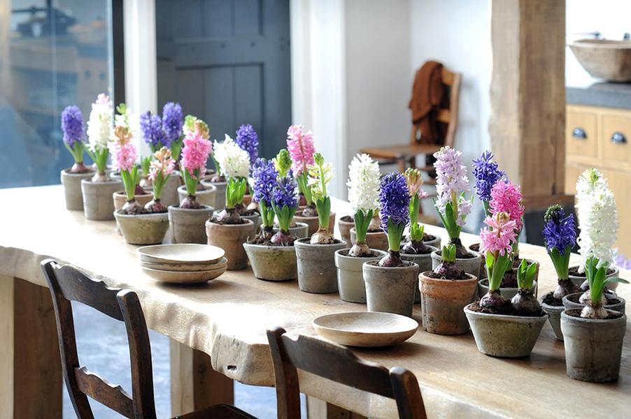 Купить цветок Гиацинт